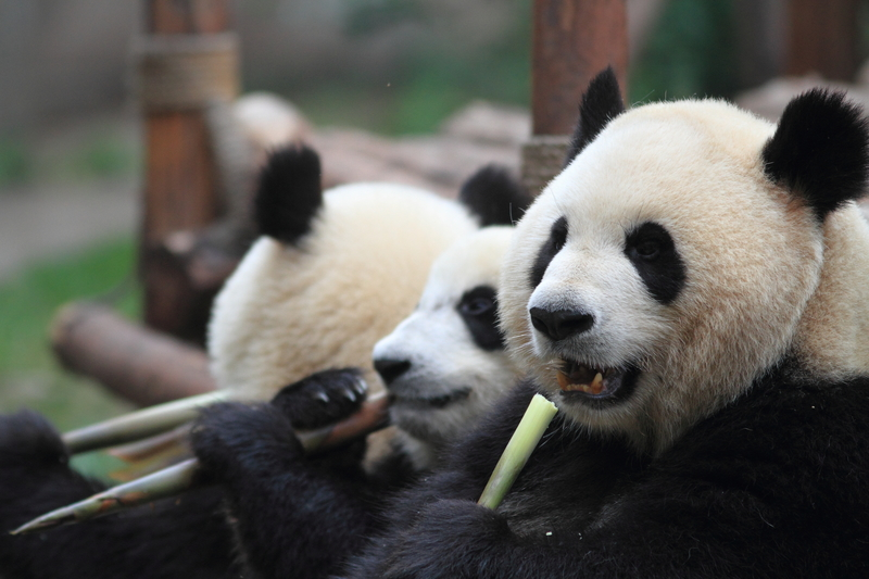 Pandas eating bamboo in Chengdu