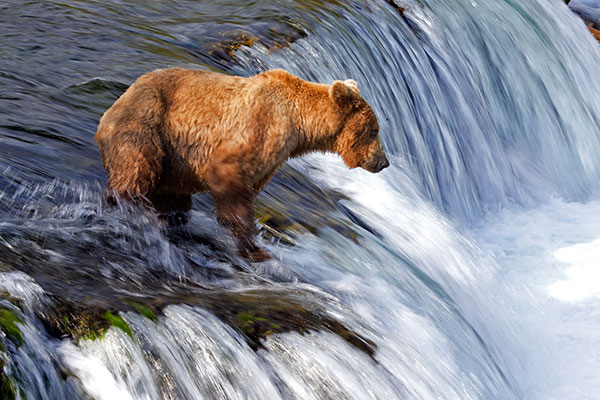 In summer, North America's largest land predators gather along streams to feast on salmon runs. A predictable eruption occurs at Katmai National Park and Preserve, as sockeye salmon burst from the northern Pacific Ocean and into park waters. ©John T. Andrews