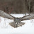 Wildlife Photo of the Week: Flying Great Gray Owl