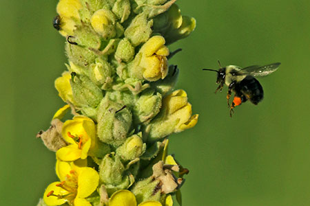 Neonicotinoids can disorient bees and cause long-term health problems. ©John T. Andrews