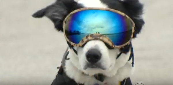 Piper, an eight-year-old border collie, not only protects the Traverse City, Michigan, airport from geese and other birds, he rocks the aviator look. ©Video by CBS Evening News