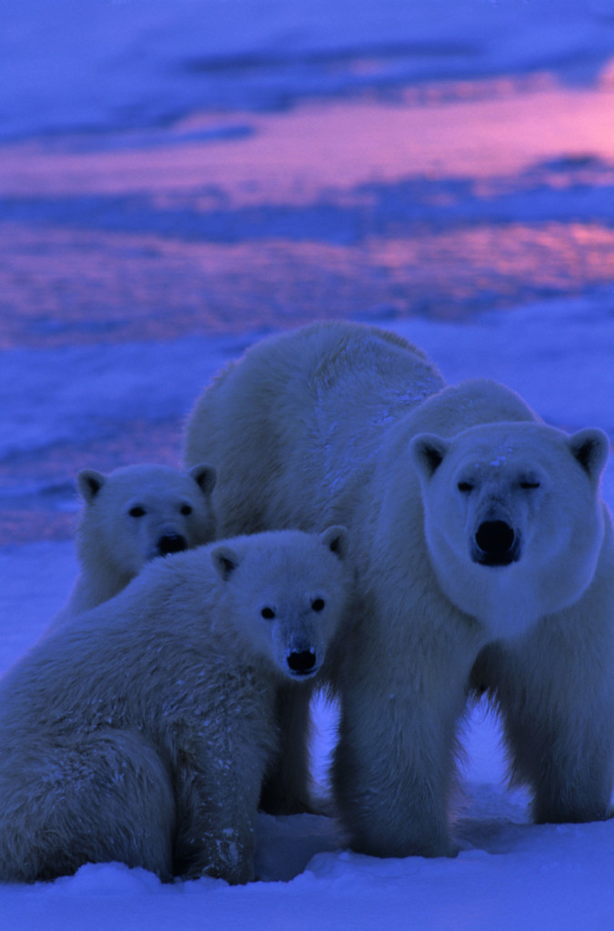 A mother polar bear and her cubs at sunset near Churchill