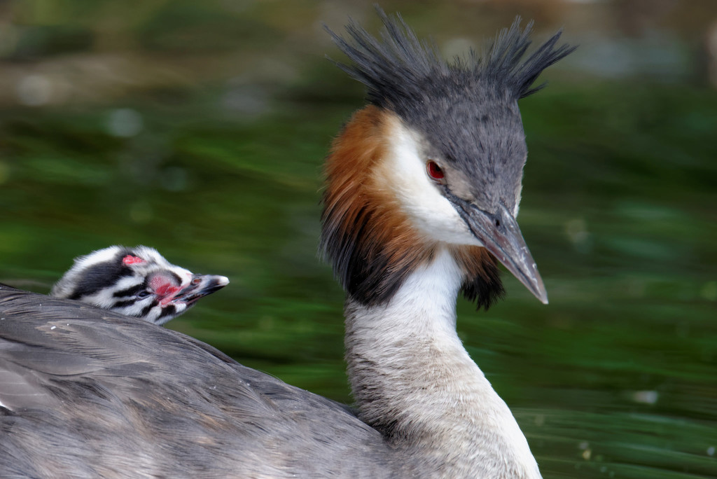 Great-crested grebe and baby © McDonald Mirabile