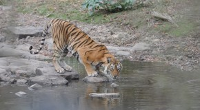 Ranthambore Tigress Machli Dies at the Amazing Age of 19