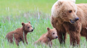 """Vote for Our """"Alaska Grizzly Guide"""" Video in the 2016 Adventure in Motion Film Contest"""