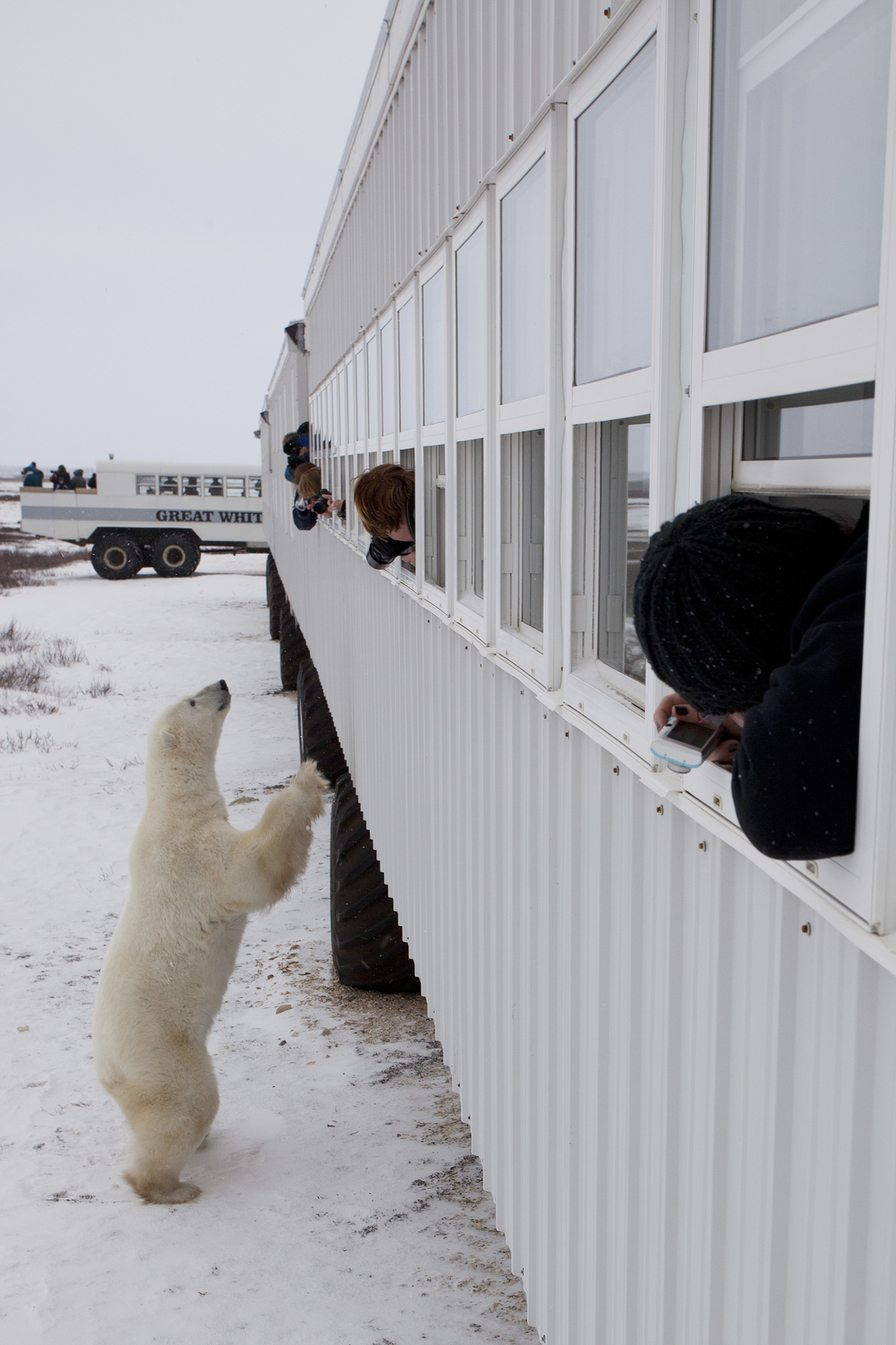 A polar bear standing on its hind legs near a Polar Rover