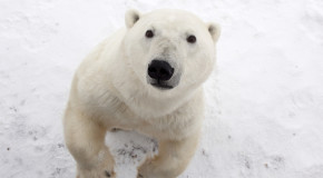 How to Get Face-to-Face With Polar Bears in the Wild