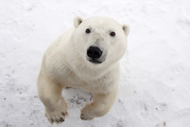 Close-up photo of a polar bear standing on its hind legs