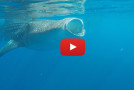Video: Swimming with Mexico's Whale Sharks