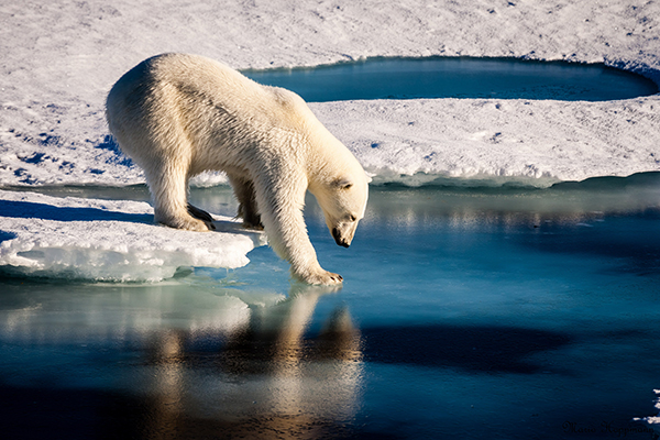 Polar bears already face shorter ice seasons, limiting prime hunting and breeding opportunities. The total number of ice-covered days declined at the rate of seven to 19 days per decade between 1979 and 2014. ©NASA/Mario Hoppmann, flickr