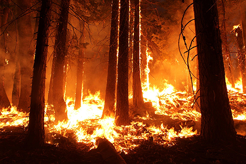 In 2013, the Rim Fire—the largest wildfire on record in the Sierra Nevada mountain range and the third largest wildfire in California's history—burned 257,314 acres. ©Mike McMillan, U.S. Forest Service