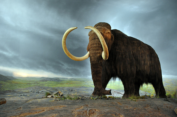 This reconstruction of the woolly mammoth—using musk ox hair—resides in the Royal BC Museum in Victoria, British Columbia, Canada. Flying Puffin, flickr