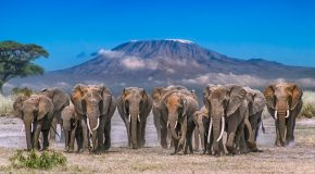 Wildlife Photo of the Week: Kilimanjaro Herd