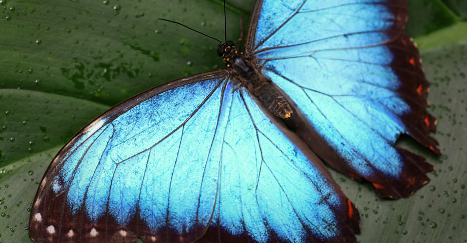 Blue morpho butterfly in Belize