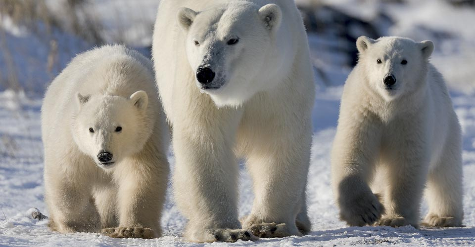 Polar bear mother and cubs in Churchill, Manitoba, Canada