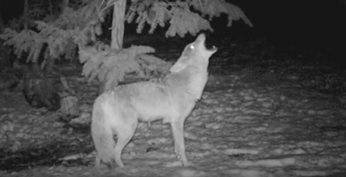 When coyotes howl, they give the impression that their pack is large. ©From the video Coyote Pack Howl by Trailcampro.com