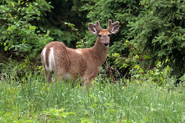 "Are deer a public resource? Recently, there has been a rise in the growth of the private, for-profit captive industry that raises cervids to be used in ""farming"" operations or canned shoots. ©John T. Andrews"