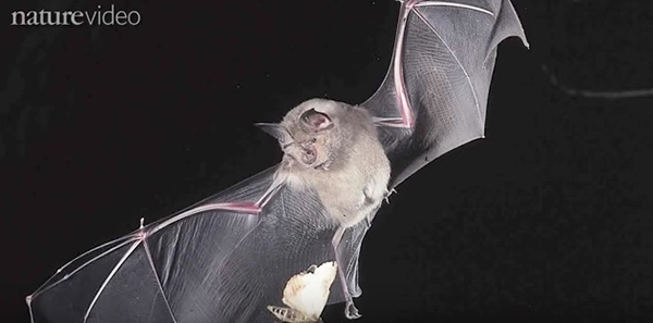 Echolocation is similar to sonar: bats make calls as they fly and listen for how long it takes for the echoes to return to them in order to decipher the distance of an insect. ©From the video Bat Sense by NatureVideo