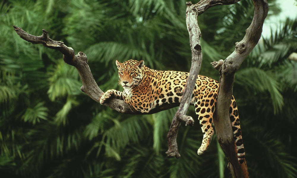 Wild jaguar in Belize