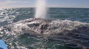 Gray Whale – Greatest Endurance Athlete in the World?