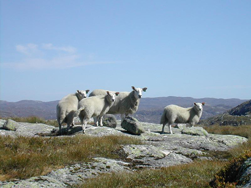 Norway allows the majority of its two million sheep to roam free all summer, without fences or supervision. ©Eirik Refsdal, flickr