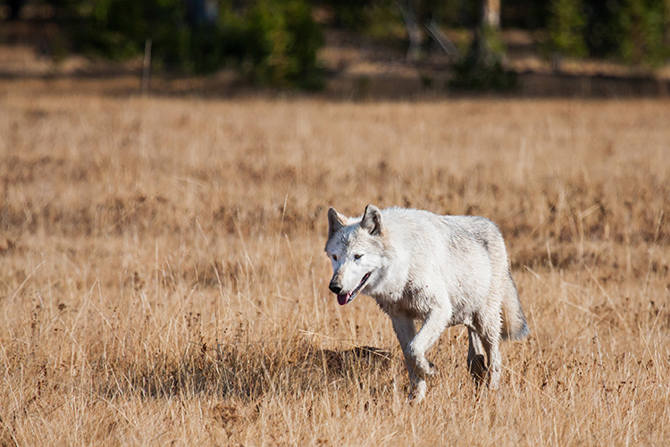 Some states allow the shooting of wolves that wander outside federal preserves. ©Sean Beckett