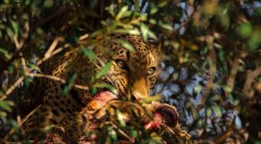 Wildlife Photo of the Week: Devouring Leopard