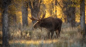 Wildlife Photo of the Week: Early Morning Moose