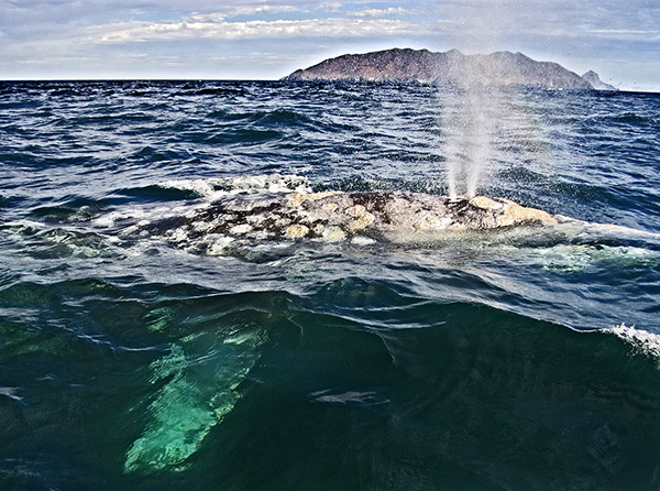 Gray Whale, Sea of Cortez