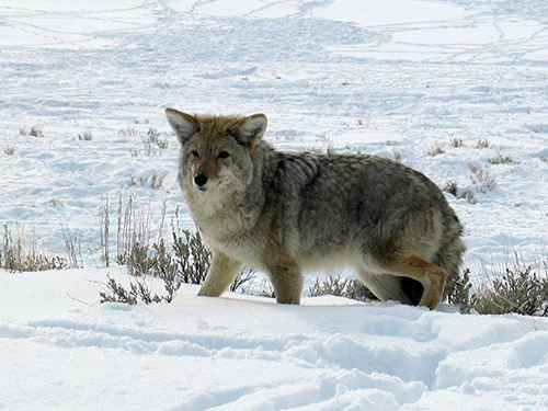 Coyote attacks on humans are uncommon and rarely cause serious injuries. Yet, historically, our attitudes about them have not been favorable. ©John T. Andrews
