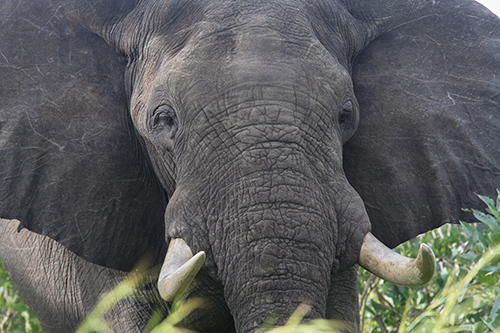 Demand from Southeast Asia has caused the price of ivory to triple since 2009. ©Brad Josephs