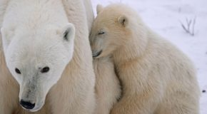 Cutest Cubs of them all – Baby Polar Bear Facts & Photos
