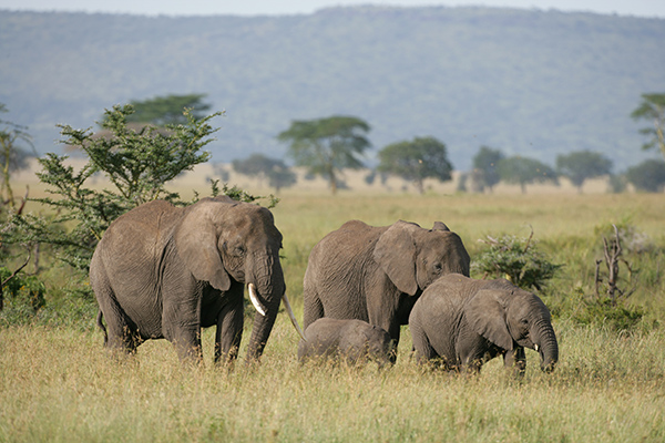 A new study shows that elephant poaching in Africa is causing the continent's economies to lose $25 million annually—more than stronger antipoaching techniques would cost. ©Patrick Endres