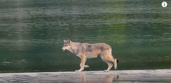 "When hunting for food, coastal wolves can swim miles between islands to feast on seals and animal carcasses found on rocks. ©From the video ""Rare Coastal Wolf: A Filmmaker's Emotional Encounter,"" Nat Geo Wild"