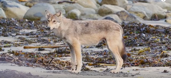 "Coastal wolves inhabit one of the last places on the planet where a wild forest meets a wild ocean. ©From the video ""Rare Coastal Wolf: A Filmmaker's Emotional Encounter,"" Nat Geo Wild."