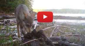 Video: Emotional Overload on Encountering a Coastal Wolf