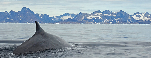 Whale in the waters off east Greenland