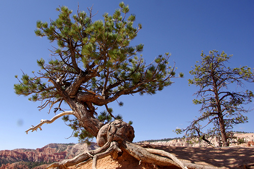 The oldest-known nonclonal tree in the world resides in California and is a bristlecone pine, such as this one in Bryce Canyon National Park, Utah. ©IvyMike, flickr