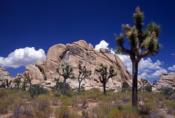 Based on climate models using a 5.4-degree Fahrenheit increase, Joshua trees could be reduced by up to 90 percent by the end of the century. Under that scenario, they would exist only in isolated pockets, scattered across the 800,000-acre Joshua Tree National Park. ©Giorgio Galeotti, flickr