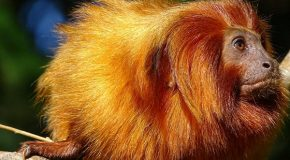Golden Lion Tamarin Monkeys in Brazil