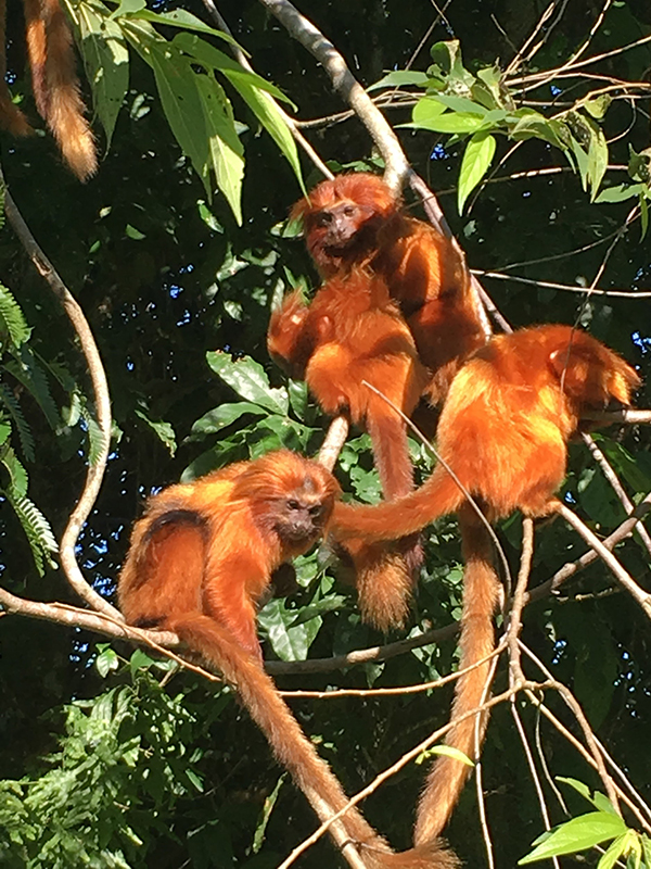 golden-lion-tamarins