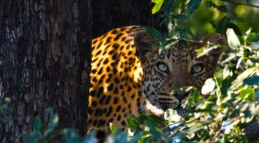 Wildlife Photo of the Day: Leopard Stare