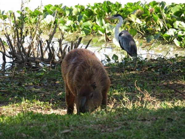 Capybara and Heron in the Brazilian Pantanal