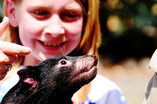 Tourists will pay money to get close to wildlife, such as Tasmanian devils, now found in the wild only in the state of Tasmania. ©Gopal Vijayaraghavan, flickr
