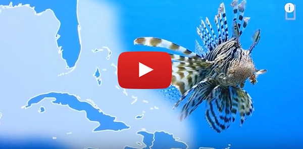 the invasion of red lionfish in the atlantic oceans Red lionfish, pterois volitans, the voracious  due to the fact that this rapid bottleneck effect of red lionfish in the atlantic  the lionfish invasion in.