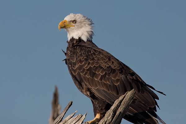 In an innovative program, Dutch police are using eagles to disable dangerous and illegal drones. ©Peter Pearsall/USFWS