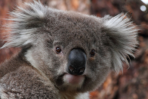 In Australia, koala-related tourism alone generates at least $1.1 billion per year. ©Wayne Butterworth, flickr