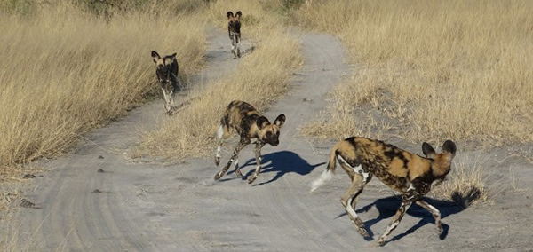 Pack of African Wild Dogs