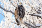 Wildlife Photo of the Day: Crystallized Eagle