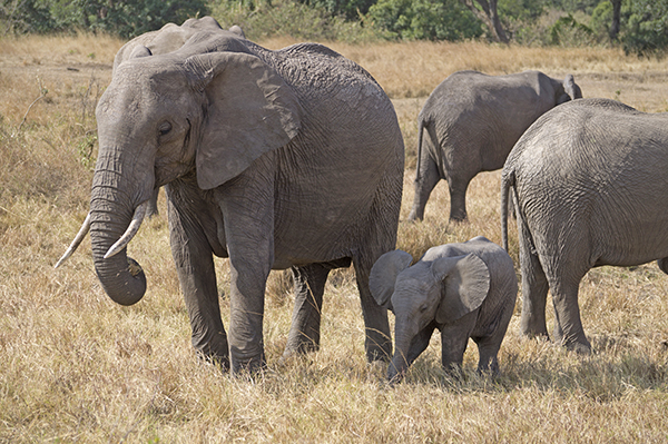 Elephant Family in the Maasai Mara National Reserve in Kenya